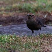 Rusty Blackbird, Monterey, CA, 10-28-2013