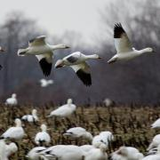 Field Guide: Snow Goose (Chen caerulescens)