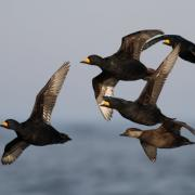 Black Scoters - Avalon, New Jersey