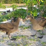 Black-Footed Albatross Courtship on Midway Atoll