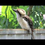 Laughing Kookaburras in the wild, Australia