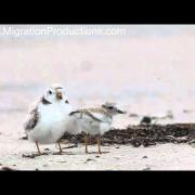 Piping Plovers, Plymouth Beach 2011