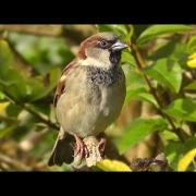 House Sparrow on Display