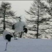 Japan Red Crowned Cranes Dance