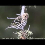 Pine Siskins in Maine
