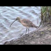 Long-billed curlew. SPI Birding and Nature Center