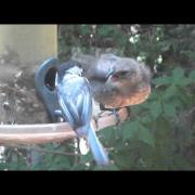 Chickadee Feeds Cowbird Fledgling!