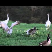 Sandhill Cranes and Whooping Cranes Dancing Together