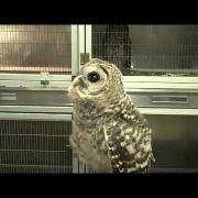 Young Barred Owl Head Bobbing