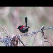 Male Red-backed Fairy-wren perched on a wire near Mareeba, Queensland