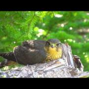 Falcon fledgling (Merlin) - Full and Sleepy Watch in HD