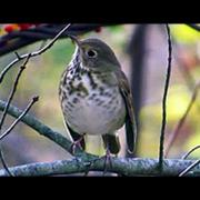 Hermit Thrush - October 27, 2015