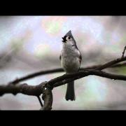 Tufted Titmouse Calling Its Mate