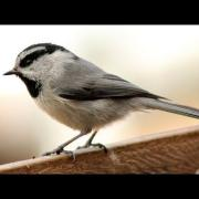 DSLR Video: Mountain Chickadee