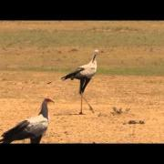 Male Secretarybird seeing off rival
