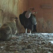 Rare glimpse of a California condor chick
