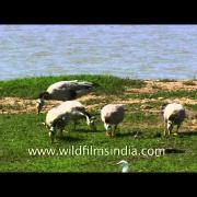 Migratory Bar-headed goose in India