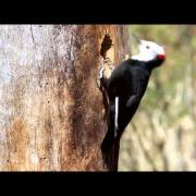 White-headed Woodpecker Excavating Nest Cavity