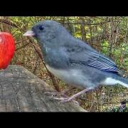 Dark Eyed Junco Calls