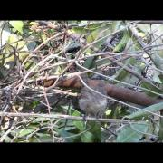 Wrentit - Temescal Gateway Park - Aug 17, 2014