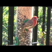 Adult House Finch at Feeder