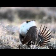 Greater Sage-Grouse Booming on Lek