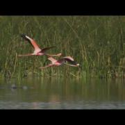 American Flamingo with music