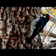 Canon Powershot SX1 HD video Acorn woodpecker