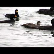 Black Scoter / Macreuse à bec jaune (Melanitta americana) courtship in Shediac Bay, New Brunswick