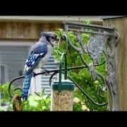 Amazing Blue Jay Call