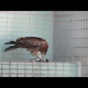 Black Kite feeding in Tai Hang Part 1