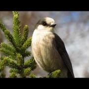 Gray Jay Imitating Crow