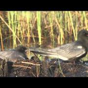 Black Terns