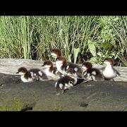 Common Merganser Chicks Starting Their Day
