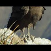 NATURE: Condor Flight School | EARTHFLIGHT: South America | PBS