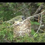 Black-capped Vireo at nest