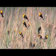 Yellow-headed Blackbirds at Yolo Basin