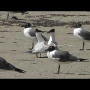 Sandwich Terns Courtship Dance with Fish.mp4