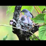 Blue-Gray Gnatcatcher Nest