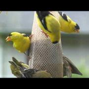 Goldfinches - Pine Siskins - Bird Feeder is PACKED! Camano Island, WA. Enjoy.