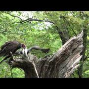 Turkey Vulture feeding young