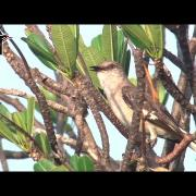 A Master of Song: Northern Mockingbird