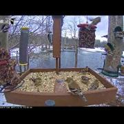 American Goldfinch Party On The Cornell FeederWatch Cam – Dec. 12, 2017