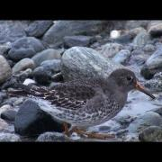 Exquisite Purple Sandpipers on post-storm beach - Norway