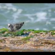 Surfbird at Packery Jetty in Texas