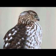 Cooper's Hawk - Essex, MA - Dec. 31, 2010