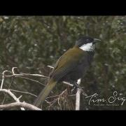 Eastern Whipbird call  (Psophodes olivaceus) HD Video clip 1/2 Tim Siggs ABVC