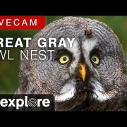 Great Gray Owl Nest powered by EXPLORE.org