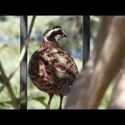 Northern Bobwhite Quail Call
