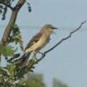 Northern Mockingbird Sings